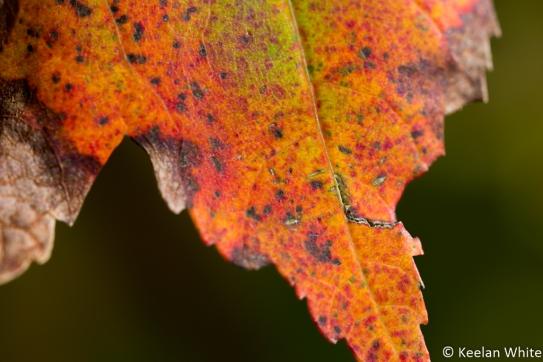 Maple Leaf on Elizabeth L