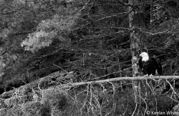 Bald Eagle on Batchewaung